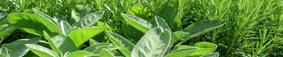 Salvia (foglia grande e piccola)