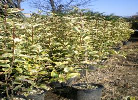 Ligustrum Ovalifolia Aurea
