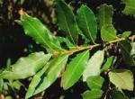 Alloro (Laurus Nobilis)