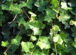 Hedera Hibernica  (Edera d'Irlanda)