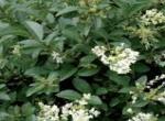 Ligustrum Japonicum e Japonicum Aurea