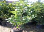 Lauro (Prunus Laurocerasus)