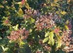 Viburnum Tinus (Lentaggine)