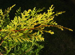 Leylandii Aurea