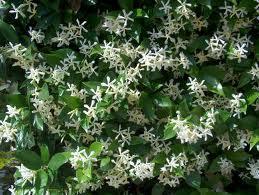 Rhynchospermum
