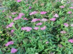 Spirea Japonica Little Princess